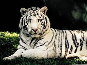Hotel Mirage em Las Vegas - Tigre Branco no Secret Garden